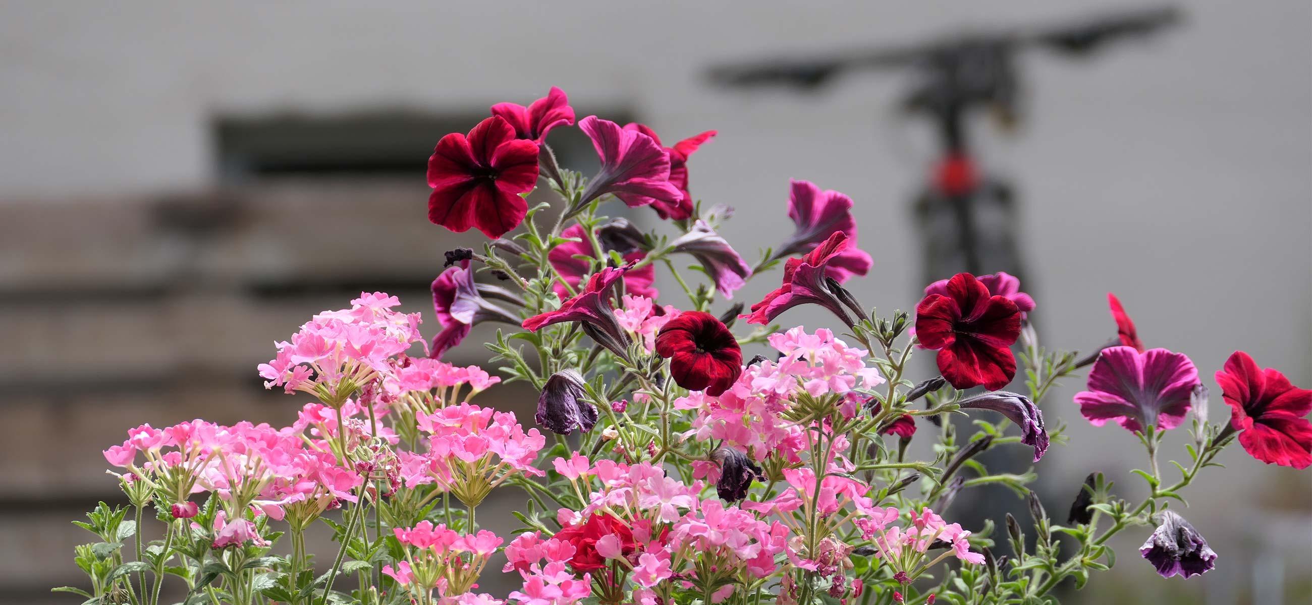 Blumen_zoepritzstrasse